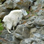 """A Mountain Goat Doing What Mountain Goats Do Best"" - En Route to Mount Rushmore, South Dakota"