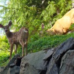 """A Fawn & Its Mom"" - Bellevue, Washington"