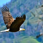 Bald Eagle in Flight in Gros Ventre Valley