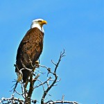 Bald Eagle in Gros Ventre Valley
