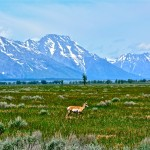 A Pronghorn Antelope & the Tetons