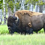 An Immense Bull Bison in a Meadow