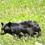 A Black Bear near Tower-Roosevelt